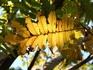 クルミの黄葉2.JPG