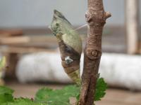 キアゲハ蛹.JPG