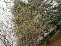 トサミズキの木.JPG