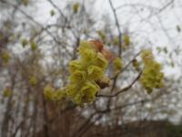 トサミズキの花さ.JPG