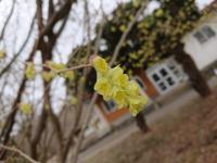 トサミズキの花アップ.JPG