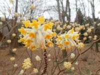 ミツマタの花.JPG